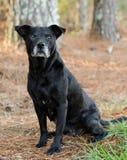 Un perro negro del ojo con el bozal gris Foto de archivo libre de regalías