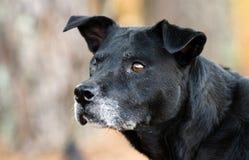 Un perro negro del ojo con el bozal gris Fotos de archivo libres de regalías