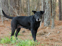 Un perro negro del ojo con el bozal gris Fotografía de archivo libre de regalías