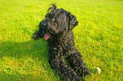 Un perro negro grande Imagenes de archivo