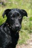 Un perro negro joven Foto de archivo libre de regalías
