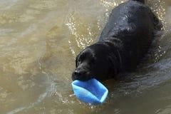 Un perro negro sale del agua con una bola Imagen de archivo