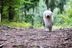 Un perro pastor engish viejo en la madera imagen de archivo