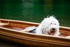 Un perro pastor inglés viejo que espera en una canoa imagenes de archivo