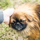 Un perro pekingese lindo fotografía de archivo