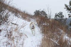 Un perro pelirrojo japonés hermoso juguetón de Akita Inu corre a lo largo de una trayectoria en el bosque en invierno en un fondo fotografía de archivo libre de regalías