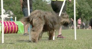 Un perro peludo grande que cruza sobre la odisea 7Q de los obstáculos 4K FS700 almacen de metraje de vídeo
