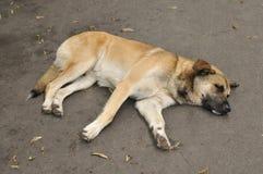 Un perro perdido duerme en el pavimento Imágenes de archivo libres de regalías