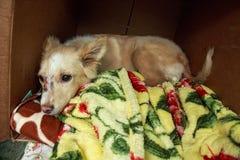 Un perro perdido hace su hogar en una caja de cartón Foto de archivo libre de regalías
