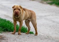 Un perro perdido que se coloca en el medio de una carretera Imágenes de archivo libres de regalías