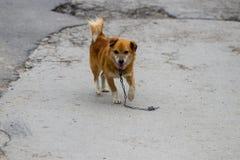 Un perro perdido que se coloca en el medio de una carretera Imagen de archivo