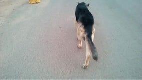Un perro que camina por la mañana con allí el dueño almacen de video
