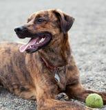 Un perro que goza de su bola Fotografía de archivo libre de regalías