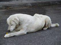 Un perro que miente en el piso y que sostiene un bocado Imagen de archivo