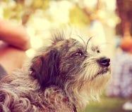 un perro que miraba apagado en la distancia en un día de verano caliente entonó con un filtro caliente del instagram del vintage Fotografía de archivo libre de regalías