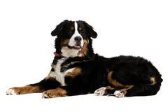 Un perro que se acuesta Foto de archivo libre de regalías