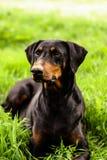 Un perro que se sienta Fotografía de archivo libre de regalías