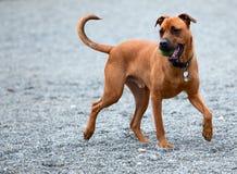 Un perro que trae la bola detrás Fotografía de archivo