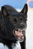 Un perro raspa Foto de archivo