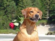 Un perro, ridgeback rhodesian con la rosa del rojo Foto de archivo libre de regalías