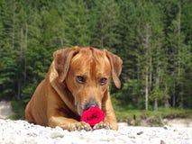 Un perro, ridgeback rhodesian con la rosa del rojo Foto de archivo