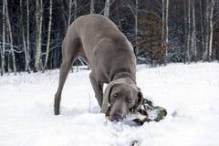 Un perro roe un palillo en el bosque del invierno Imágenes de archivo libres de regalías