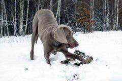 Un perro roe un palillo en el bosque del invierno Imagen de archivo libre de regalías