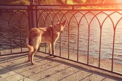 Un perro rojo atado con una cadena mira el agua Foto de archivo