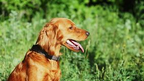 Un perro rojo hermoso se sienta en un bosque verde hermoso en vista lateral del verano El perro se pegó hacia fuera la lengua y r almacen de metraje de vídeo