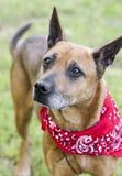 Un perro rojo más viejo con el pañuelo rojo, foto de la raza de la mezcla del pastor de la adopción del rescate del animal domést Fotografía de archivo
