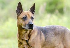 Un perro rojo más viejo de la raza de la mezcla del pastor, foto de la adopción del rescate del animal doméstico Fotos de archivo