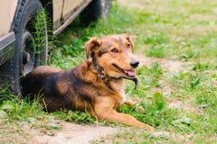 Un perro rojo marrón en un cuello miente en la hierba cerca de la rueda de un coche viejo imagen de archivo