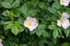 Un perro rosado subió en un arbusto Fotografía de archivo libre de regalías