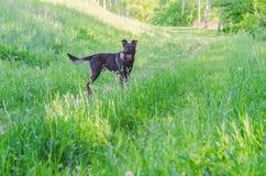 Un perro sin raza con lanas marrones camina a través del prado Imágenes de archivo libres de regalías