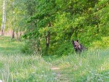 Un perro sin raza con lanas marrones camina a través del prado Fotografía de archivo libre de regalías