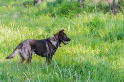 Un perro sin raza con lanas marrones camina a través del prado Fotos de archivo libres de regalías