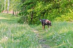 Un perro sin raza con lanas marrones camina a través del prado Imagenes de archivo