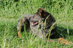 Un perro sin raza con lanas marrones camina a través del prado Fotografía de archivo