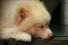 Un perro soñoliento foto de archivo libre de regalías