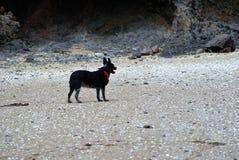 Un perro solitario en una playa Foto de archivo libre de regalías