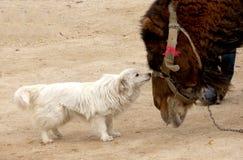Un perro y un camello junto amistosos y preciosos Imagen de archivo libre de regalías