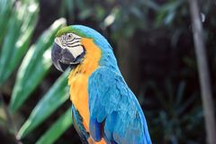 Un perroquet avec la plume jaune et bleue Photo stock