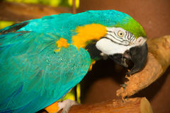 Un perroquet coloré Photo stock