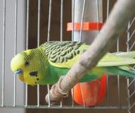 Un perroquet est dans une cage Photo libre de droits