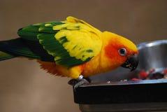 Un perroquet mangeant le déjeuner Photographie stock libre de droits