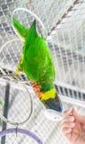 Perroquet de alimentation Photos libres de droits