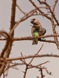 Un perroquet Orange-gonflé africain femelle Photographie stock libre de droits