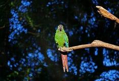Un perroquet vert vibrant faisant une sieste sur une branche d'arbre, Foz font Iguacu, Brésil, Amérique du Sud photo libre de droits