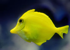 Un pescado amarillo tropical Fotos de archivo libres de regalías