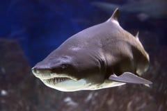 Un pescado asustadizo grande imagen de archivo